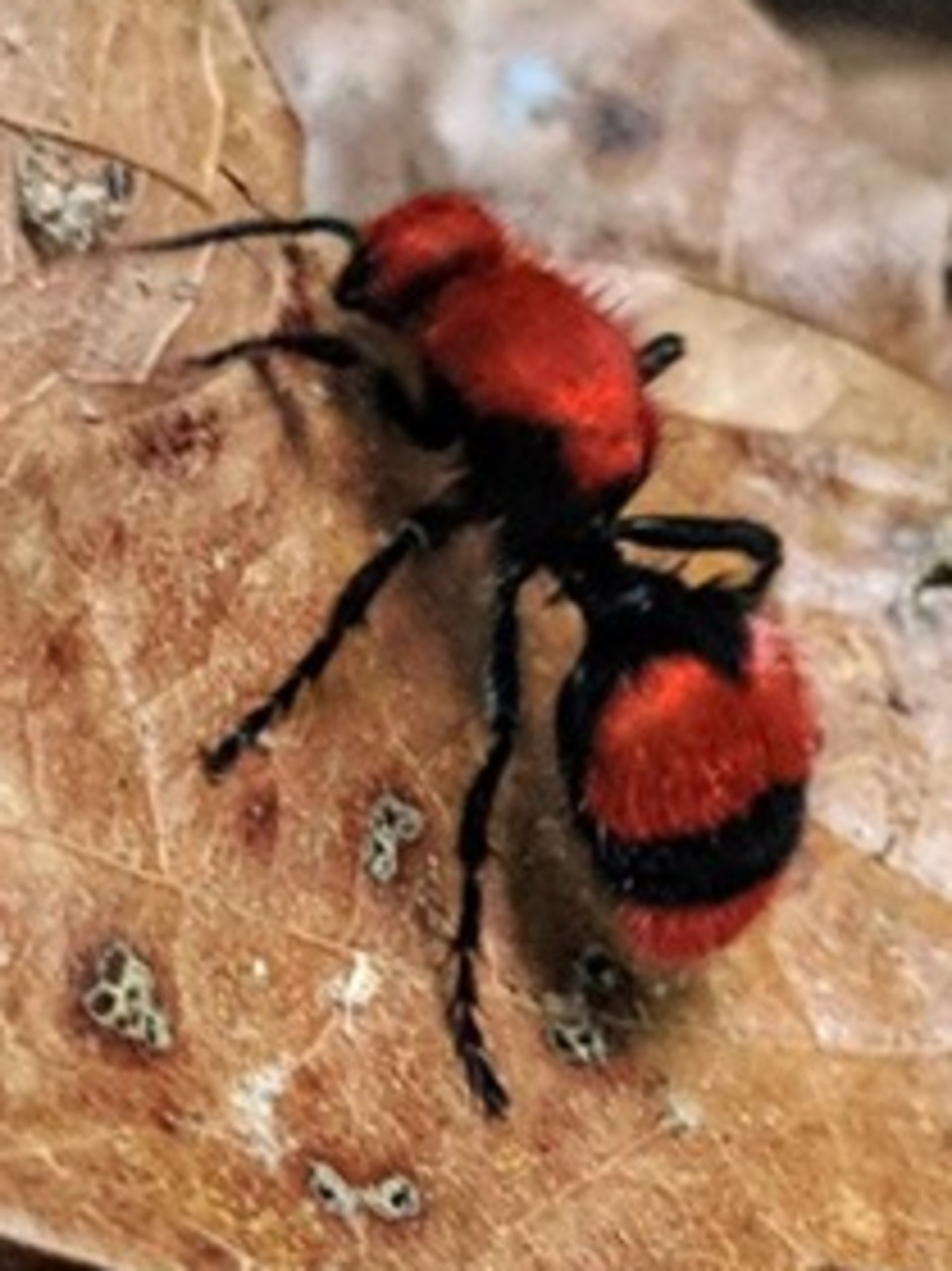 Stings From These Ants In The Smoky Mountains Are So Painful They Could Kill A Cow Wztv